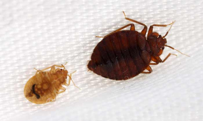 Baby and Adult Bed bug Pictures