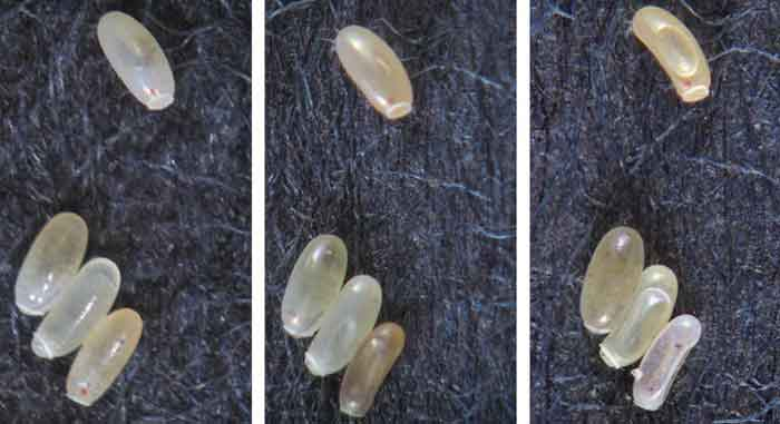 bed bug eggs picture