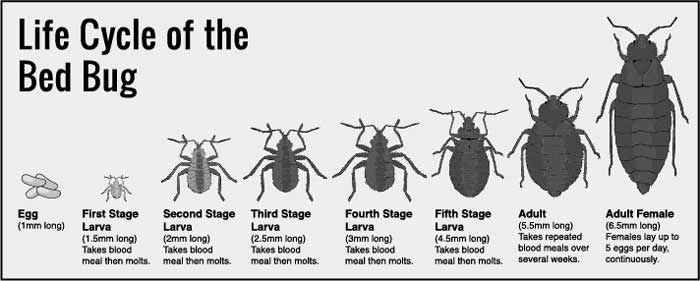 bed bug life cycle and growth stages