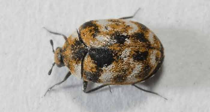 bed bug and carpet beetle differences & similarites