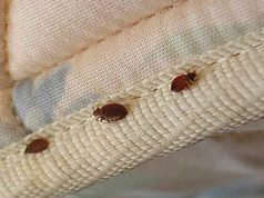 Bed Bugs In Hair Symptoms Pictures Amp Treatment Pestbugs