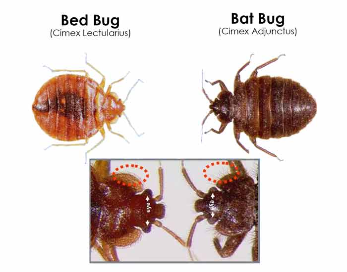Bugs That Look Like Bed Bugs Beetles Others That Resemble Or Mistaken Pestbugs