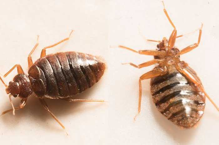 bugs that look like, resemble, similar to bed bugs