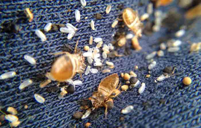 signs symptoms of bed bug-eggs and shells