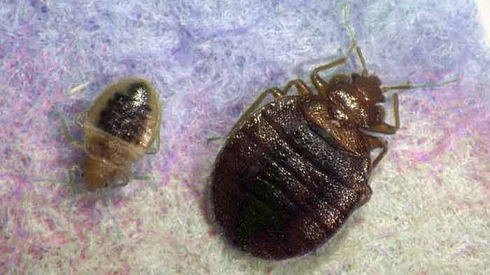 What things that attract bed bugs hate