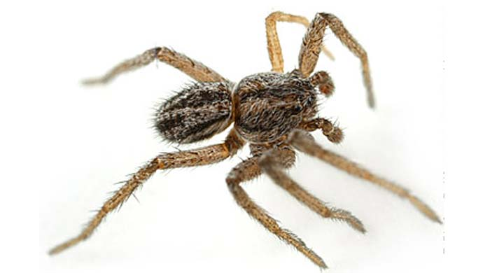 Do Spiders Eat Bed Bugs