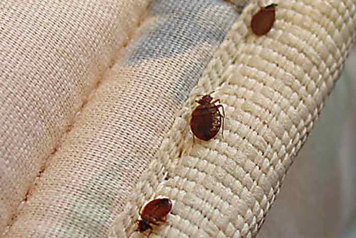 How to get rid bed bugs on carpet