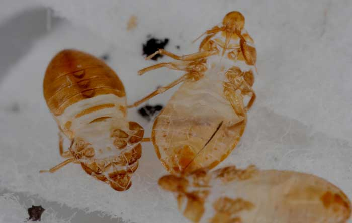 Signs bed bug in your vehicle