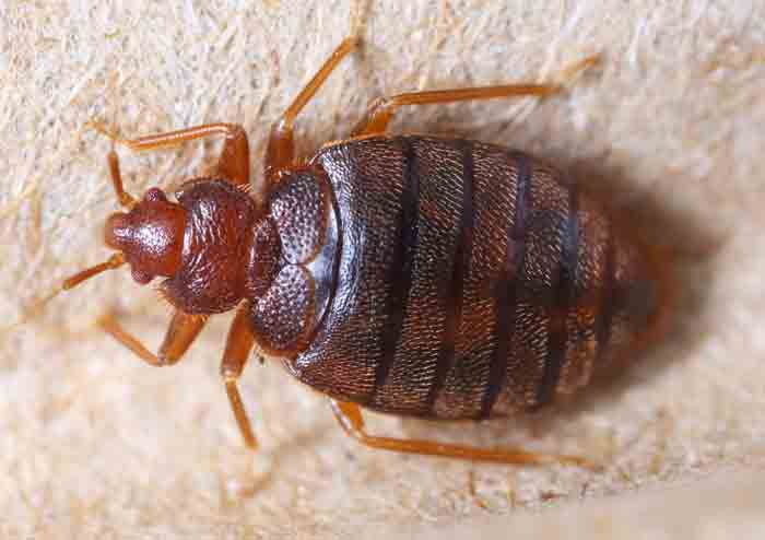 bed bug in car seat