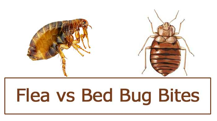 Flea Bites Vs Bed Bug Bites Differences Pictures Pestbugs