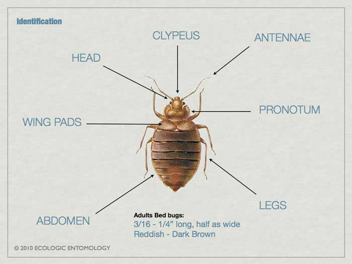 Bed bug wing pads