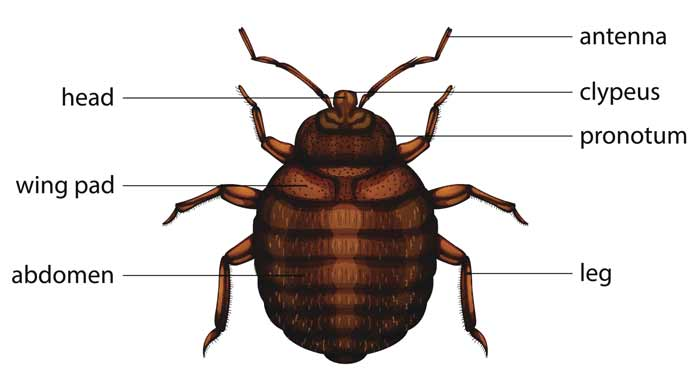 Bed bug definition where they come from, causes, how yo get them, and more facts and frequently asked questions