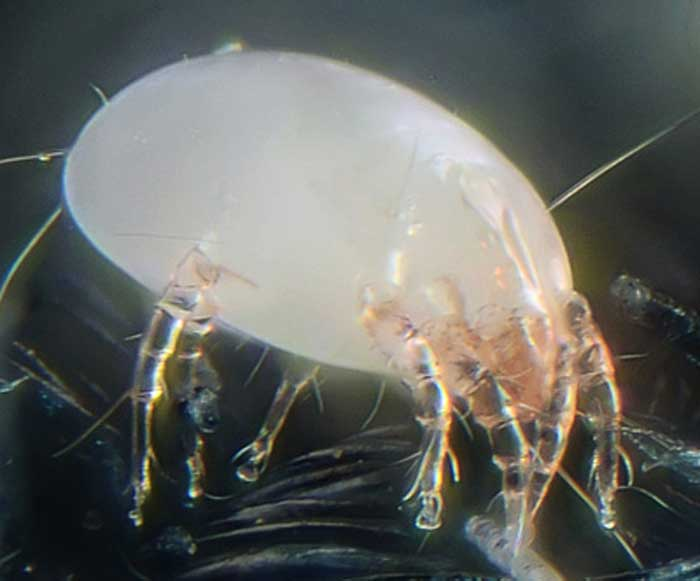 Dust mite Image/Photo