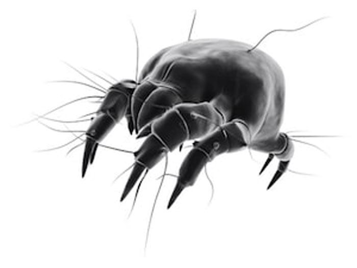 how dust mite look like