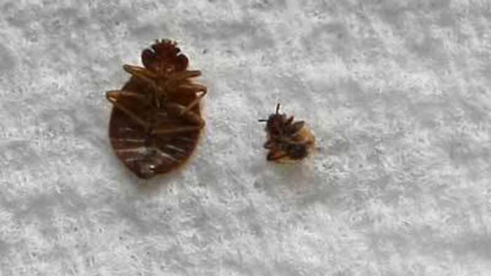 how to get kill and get rid of bed bugs forever naturally and with use of chemicals