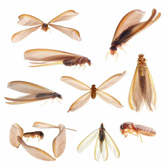 What Do Termites Look Like Pictures Size Color Look Alikes Pestbugs