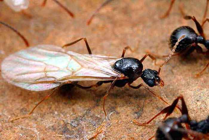 acrobat carpenter ants