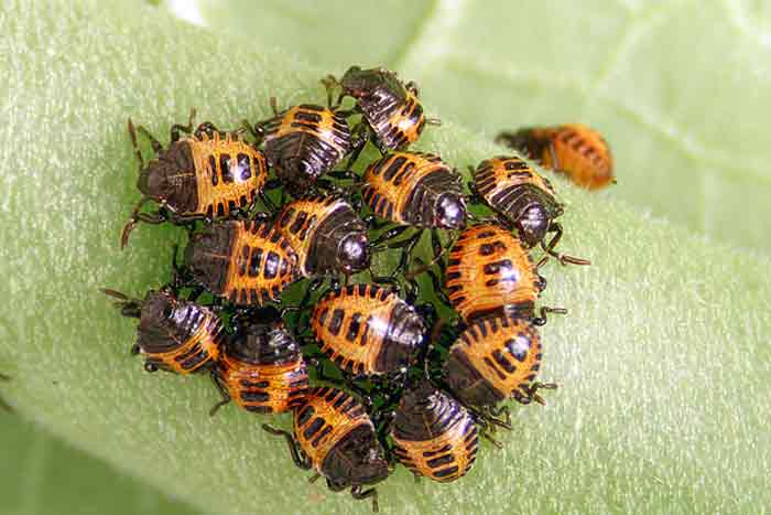 baby stink bugs