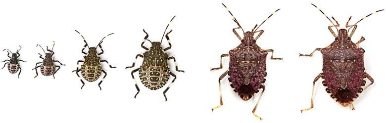 cycle Stages of the brown marmorated stink bug