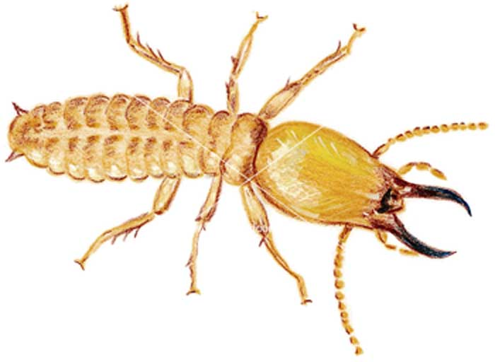 dampwood termites type facts and pictures
