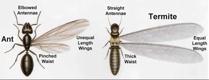 flying termite vs flying ant