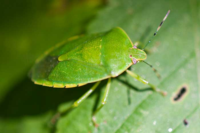 green stink bug photo