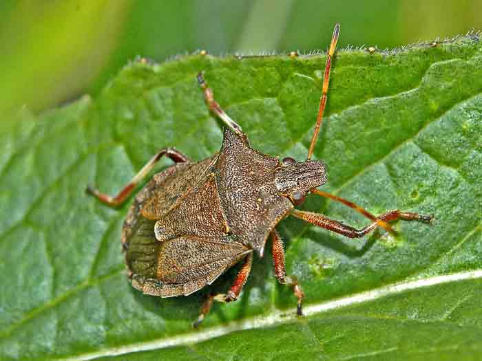 how tp get rid, kill and repel stink bugs