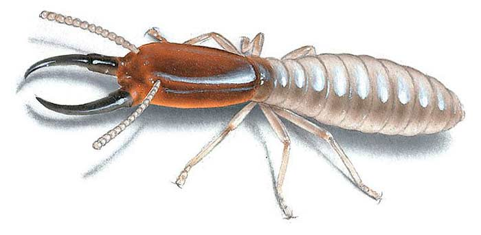 picture of what drywood termite looks like