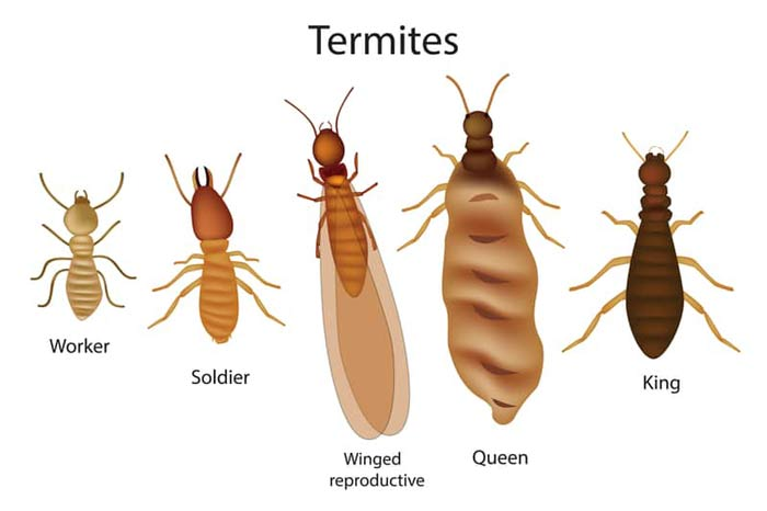 queen, worker, soldier and king termites