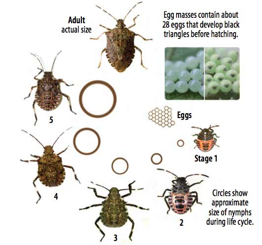 whats a stink bug