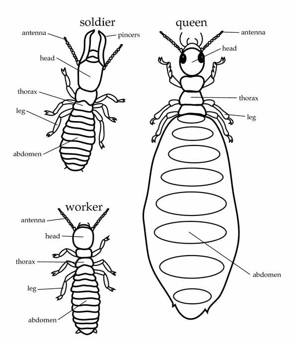 What Do Termites Look Like Pictures Size Color Look Alikes