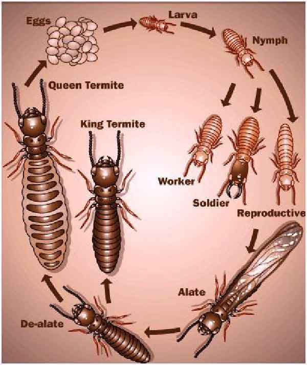 Termite life cycle stages & span