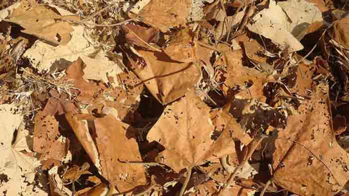 termites causes dry leaves and trees