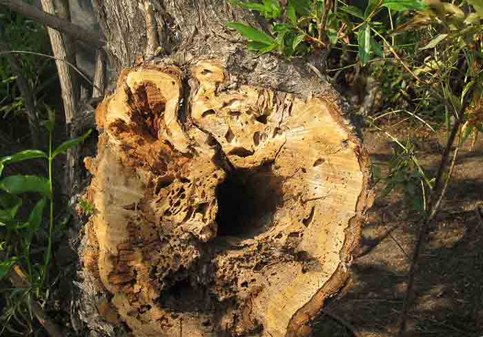 tree destroyed by termites