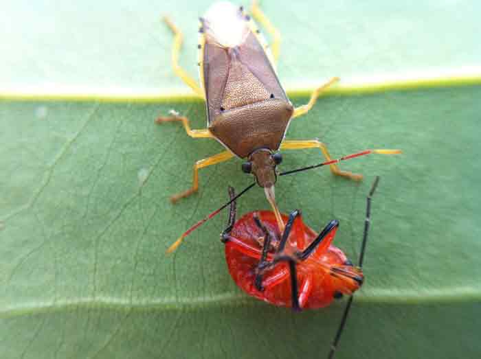 what do stink bugs eat plants & insects