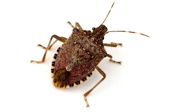 what stink bug look like and similar insects