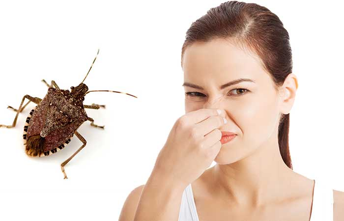 why do stink bugs smell