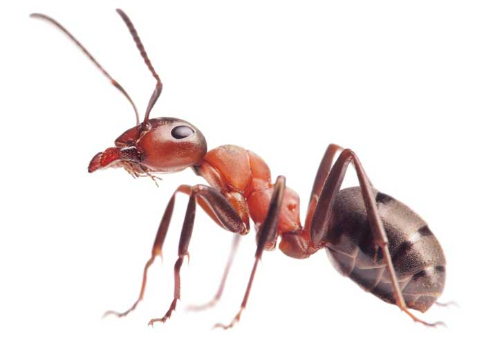 wingless ant