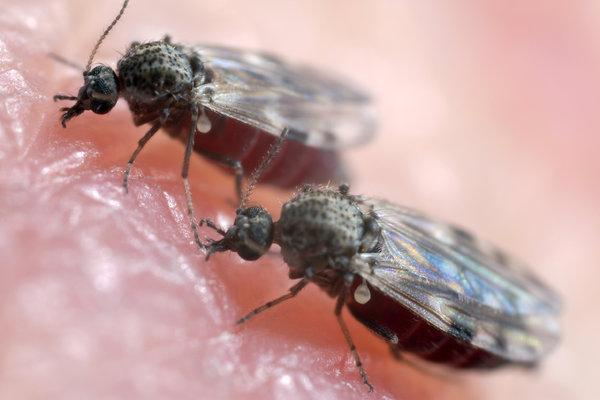 Biting midges symptoms and how to get rid