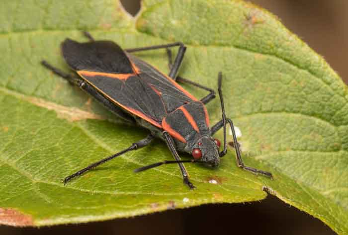 How To Get Rid Of Boxelder Bugs Permanently Inside Outside Pestbugs