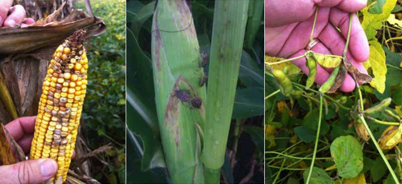 Stink bugs feed on corn and beans
