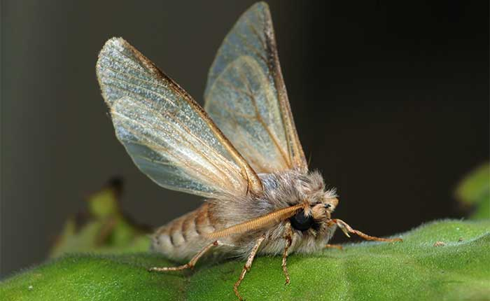 A picture of how an adult moth look like