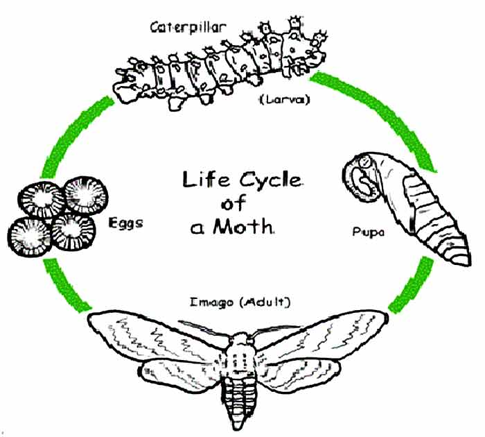 life cycle of moth, timeline and life span