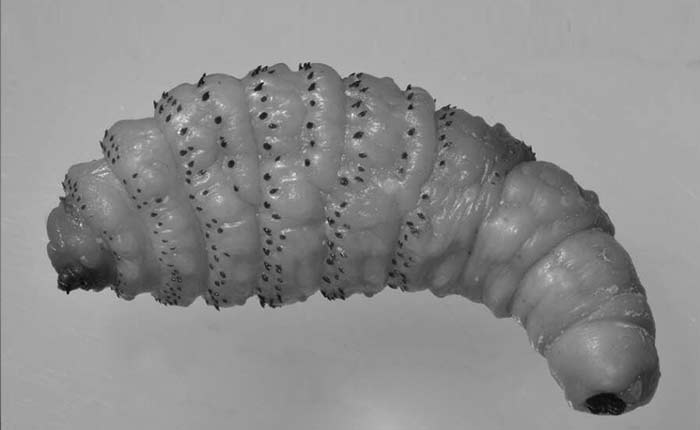 Botfly larvae worm picture